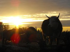 """Cattle enjoying the Sunset in Langley  February 13, 2012 - Today's """"Pic a Day"""" 365 Day Challenge.  DSCF7582 - 12/02/02"""
