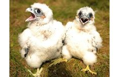 Abseiling wildlife ranger Paul Pickett in Kielder Forest Northumberland dropped in to ring two 25-day-old rare peregrine falcon chicks; until recently one of Britain's most persecuted bird species