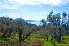 Olive grove with a view, Pelion. JR