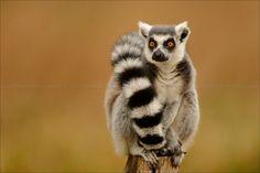 Lemur.  ... ... . . . . . . . . . . . . . . . . . . Lémurien du parc des félins by David Moret on 500px