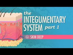 The Integumentary System, Part 1 - Skin Deep: Crash Course A&P #6 by thecrashcourse: Anatomy & Physiology continues with a look at your biggest organ - your skin. Support at Subbable: http://www.subbable.com/crashcourse