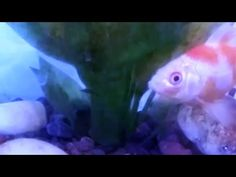 Peces de colores con musica relajante, goldfish and relaxing music - YouTube