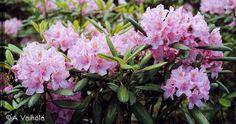 'Helsinki University' - marjatanalppiruusu - Rhododendron Tigerstedtii-Ryhmä