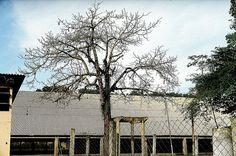 Árvore seca e teto de zinco..