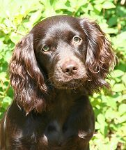 "The South Carolina State Dog...""The Boykin Spaniel""