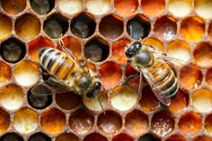 A pair of worker bees processing pollen. The various colors in the cells indicate pollen from different plant species.