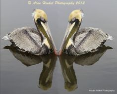 Pelicans of the Mississippi Gulf Coast 11x14 by AlanHinkelPhotos