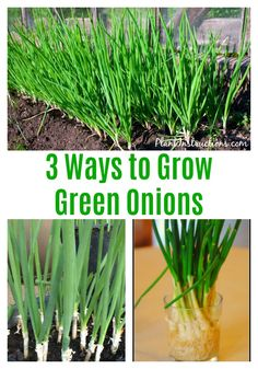 to Grow Green Onions: 3 Ways to Grow Green Onions How to Grow Green OnionsOnions (surname) Onions is a surname, also spelled O'Nions. Notable persons with that surname include: Growing Spring Onions, Green Onions Growing, Growing Greens, Growing Veggies, Growing Herbs, Planting Green Onions, Regrow Green Onions, Comment Planter, Gardens