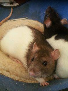 Pretty pair of rats