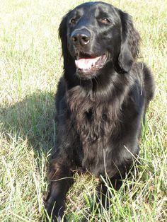 Flat-coated retriever - looks just like my Harley!