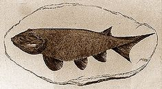 Cheirolepis, shown here in a reconstruction