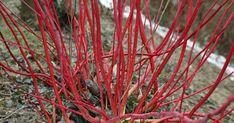 Der Hartriegel ist das ganze Jahr über ein Blickfang: Im Frühjahr trägt er elegante Blüten, danach beeindruckt er durch ein üppiges Blätterkleid. Im Winter ist die auffällig gefärbte Rinde ein willkommener Farbklecks im Garten: Das Spektrum reicht von flammend rot über gelb bis zweifarbig.