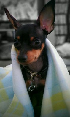 Diesel -1yr old Min Pin *Too Cute!!*