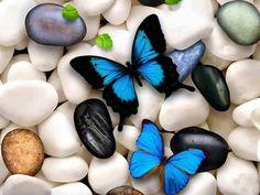 Blue Butterflies on pebbles.