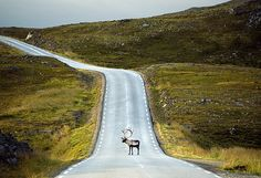 Photo by Corey Arnold Meditating reindeer on the road to Nordkapp in Finnmark, Norway :) Wildlife Photography, Travel Photography, Wild Photography, Alaska, Outside Magazine, Nature Sauvage, National Geographic Travel, Beautiful Roads, Beautiful Places