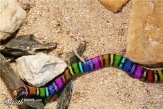 are large, heavy bodied snakes closely related to mud snakes because of their secretive habits. Many people consider them to be among the prettiest snakes in the world. If captured, rainbow snakes do not bite and are generally very docile. Pretty Snakes, Cool Snakes, Spiders And Snakes, Colorful Snakes, Beautiful Snakes, Colorful Animals, Unique Animals, Rainbow Snake, Rainbow Serpent