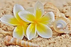 Yellow White Plumeria and Seashells HD Wallpaper Plumeria Flowers, Hawaiian Flowers, Tropical Flowers, Hibiscus, Walpapers Iphone, Tiare Tahiti, Clay Wall Art, Summer Wallpaper, Summer Memories