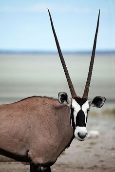 fabulous animal the oryx, with amazing long thin horns in a v-shape. black and white face and cute ears. pale brown body and thin black stripes