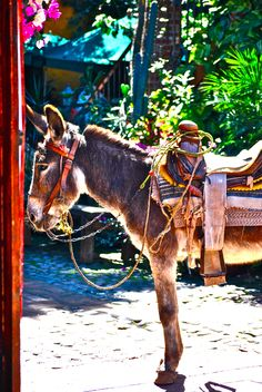 Burro fuera de un restaurante, Sinaloa, México. blog.cuponismo.com