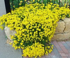 Commonly called Basket of Gold, perennial alyssum makes a wonderful wall or rock garden plant. Every spring it develops masses of cheerful yellow flowers that look terrific tucked between rocks and boulders.