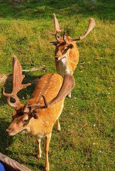 Rogasie z doliny Okrągłe Giraffe, Goats, Animals, Felt Giraffe, Animales, Animaux, Giraffes, Animal, Animais