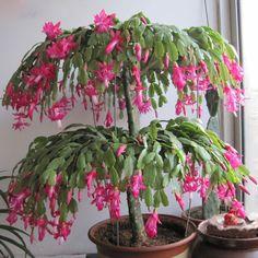 Zygocactus Truncatus Schlumbergera Bonsai (Bonsai de Flor de Maio)