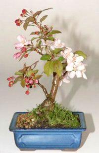 Sargent Crabapple Bonsai Tree  $89.00