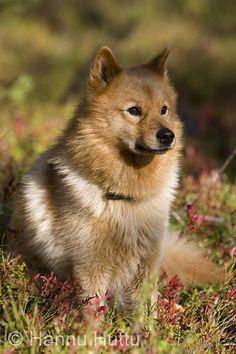 Suomenpystykorvaa on haettu Unescon maailmanperintökohteeksi. Kuva Hannu Huttu History Of Finland, Hunting Dogs, Animals And Pets, Best Dogs, Dogs And Puppies, Husky, Dog Lovers, Dog Cat, Cats