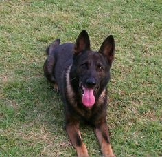 K9 Franz was an active member of the KCPD Drug Enforcement Unit from September 11, 2006 to July 5, 2012. K9 Franz was assigned to K9 handler Detective Garcia in Interdiction Unit . During his career K9 Franz seized 5,271.6 lbs of Marijuana, 78.4 lbs of Cocaine, 24.8 lbs of Methamphetamine, 33.5 lbs of Heroin, and $2,017,726.00 in U.S. currency. K9 Franz was also recognized and received 7 plaques from The National Police Canine Association for Narcotic Detection Cases throughout his career.