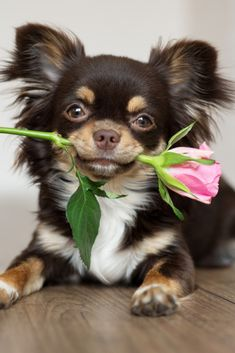 Chihuahua dog lying down and holding a ros dog lying down and holding a rose Baby Chihuahua, Baby Puppies, Cute Puppies, Long Haired Chihuahua Puppies, Brown Chihuahua, Pet Dogs, Dog Cat, Animals And Pets, Cute Animals