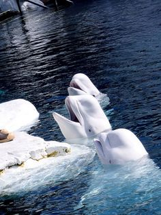 Love these beautiful Beluga Whales. They are my favorite water animals.