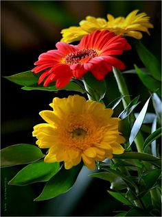 Yellow and Red Gerberas Amazing Flowers, Love Flowers, Beautiful Roses, My Flower, Beautiful Gardens, Gerbera Flower, Flower Images, Flower Pictures, Gifs