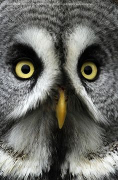 Great Grey Owl // Chouette lapone