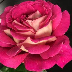 Flaming Peace - Hybrid Tea Roses - Roses - Heirloom Roses