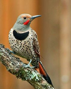 Gorgeous! Red-shafted flicker, in Oregon. (I saw one of these guys when I was living in St. Petersburg, Florida... for real!! I'm guessing he was a wee bit off his migration path, lol!)