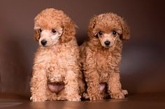 Toy Poodle Puppies For Sale In Washington Poodle Puppies For Sale, Cute Puppies, Pets For Sale, Pet Dogs, Dog Breeds, Your Pet, Adoption, Poodles, Patches