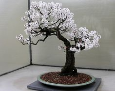 Bonsai, Informal Upright style (Moyogi).
