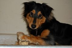 Black and Tan English Shepherd male