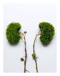Kidneys made of plants and tiny weeds photograph by EyeHeartSpleen, $35.00
