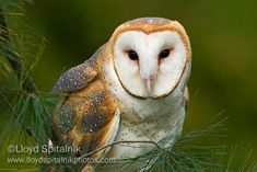 Barn Owl, love their face. I want to see one so bad!!!