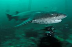 Stunning Photos Of Sharks And People Document A Vulnerable Species. Here's the ancient Sevengill Shark Shark Jaws, Reef Shark, Orcas, Monster Shark, Basking Shark, Vulnerable Species, Species Of Sharks, Marine Reserves, Underwater Life