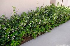 a versatile plant how to care for grow star jasmine