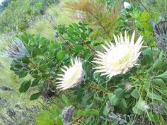 White King Protea from Kona Mauka.
