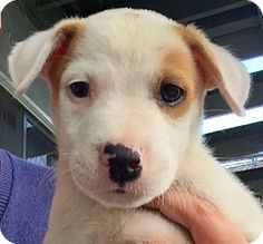Long Beach, CA - Labrador Retriever/Boxer Mix. Meet Rufus, a puppy for adoption. http://www.adoptapet.com/pet/13314286-long-beach-california-labrador-retriever-mix