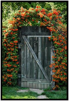 Superb Iover Flowing Flowering Shrub Over Top A Rustic Garden Gate ...