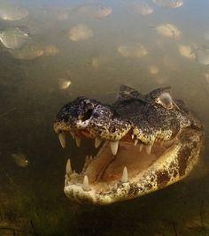 Photo : Cette image d'un caïman dans les eaux boueuses du Pantanal au Brésil remporte la première place de la catégorie Comportement : Animaux à sang froid (Crédit photo : Luciano Candisani/WPY)