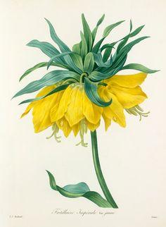 Pierre Joseph Redouté -- 'Fritillaire Imperiale var jaune' -- Pierre-Joseph Redouté -- Artists -- RHS Prints