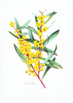 Acacia - For Friendship Australian Wildflowers, Australian Native Flowers, Australian Plants, Australian Art, Australian Vintage, Botanical Drawings, Botanical Prints, Flower Drawings, Art Floral