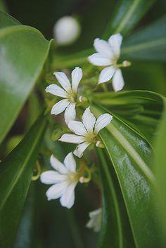 Naupaka half white flowers... the heart broken couple | Flickr - Photo Sharing!