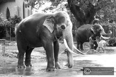 feeling fresh! one of the great tuskers after a wash by the mahouts in the backyard of the Kandy temple.